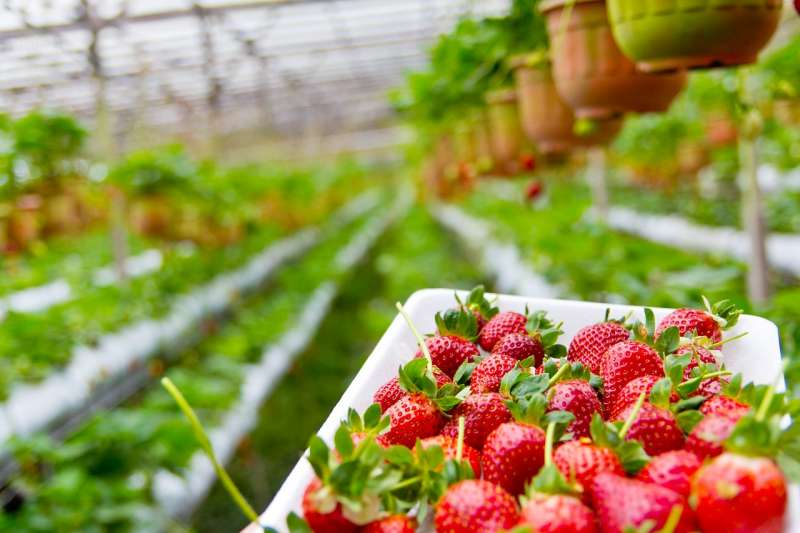 草莓園。(圖/keem1201@pixaby)