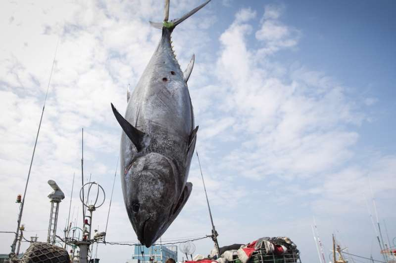 2019屏東黑鮪魚文化觀光季的「第一鮪」。(屏東縣政府提供)