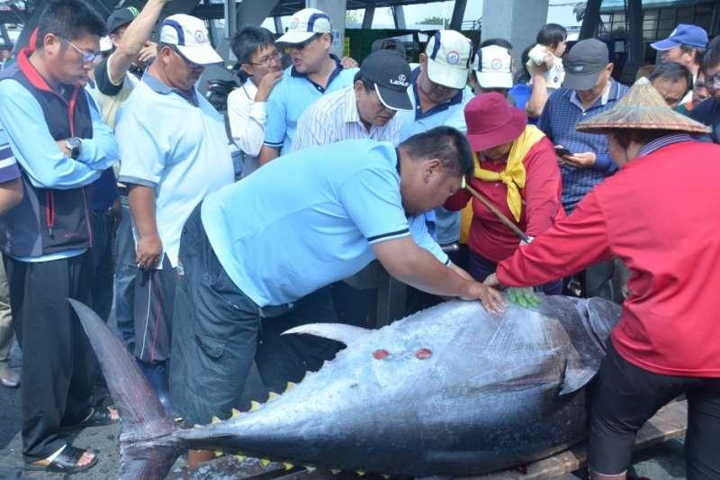 屏東黑鮪魚季「第一鮪」出爐!船長僅7年資歷 創從漁時間最短捕獲紀錄-風傳媒
