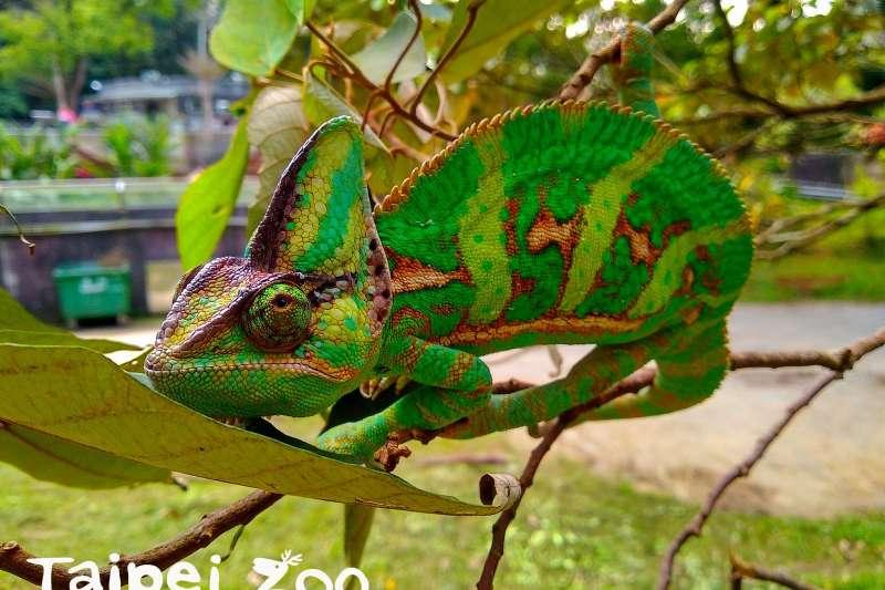 變色龍花紋除了適應環境之外,原來還能反映身體狀況。北市動物園的變色龍近日發情展現豔麗色彩,在懷孕後就變深,向人表達自己「有喜啦」!(圖/Taipei Zoo 臺北市立動物園臉書粉專)