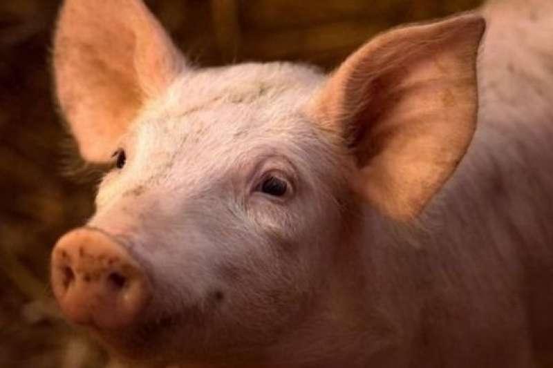 豬是比較聰明的動物。(BBC中文網)
