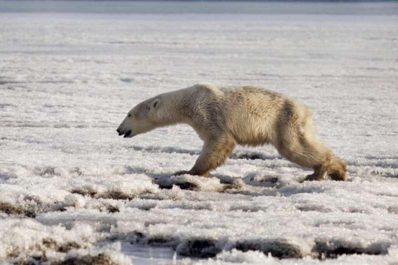 俄羅斯西伯利亞堪察加半島一處小鎮14日出現一隻前爪受傷的北極熊。(AP)
