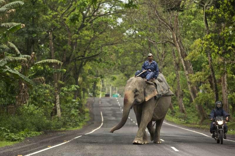 印度加濟蘭加國家公園中的馴象人騎著大象。(美聯社)