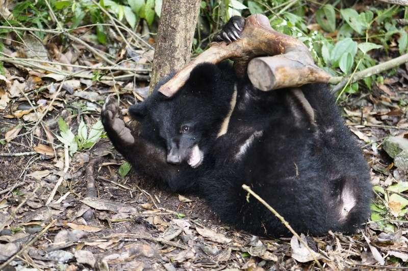 「南安小熊妹」在野訓場玩枯木。(台灣黑熊保育協會提供)