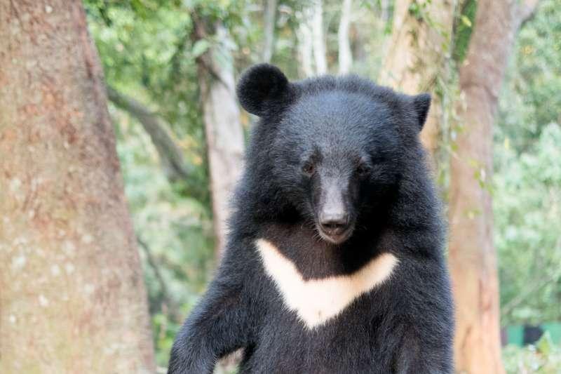 針對台灣黑熊遭下肚,屏東科技大學副教授「黑熊媽媽」黃美秀痛批「人神共憤、相當遺憾」,但也坦言不意外。(資料照,台灣黑熊保育協會提供)
