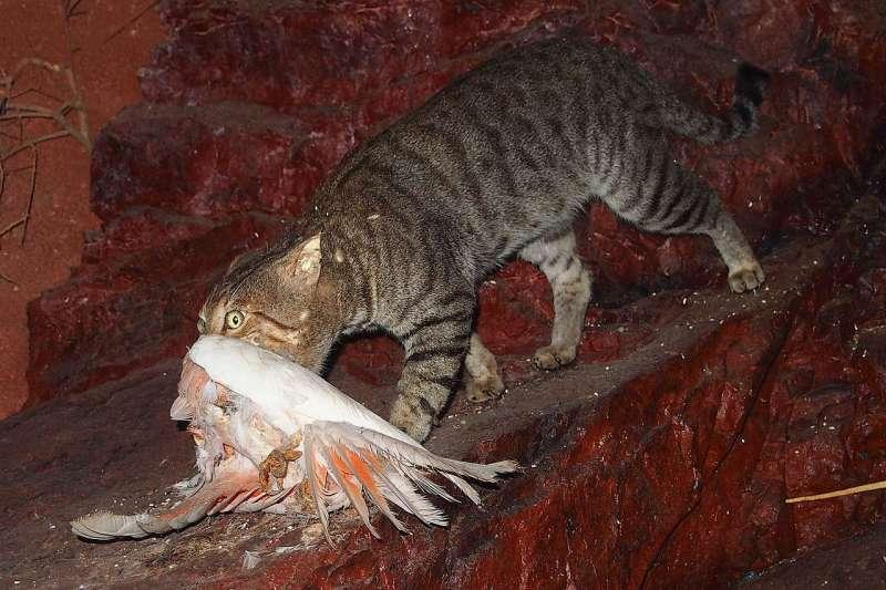 為了避免當地特有物種滅絕,澳洲政府大規模撲殺野貓。(Mark Marathon@Wikipedia / CC BY-SA 4.0)