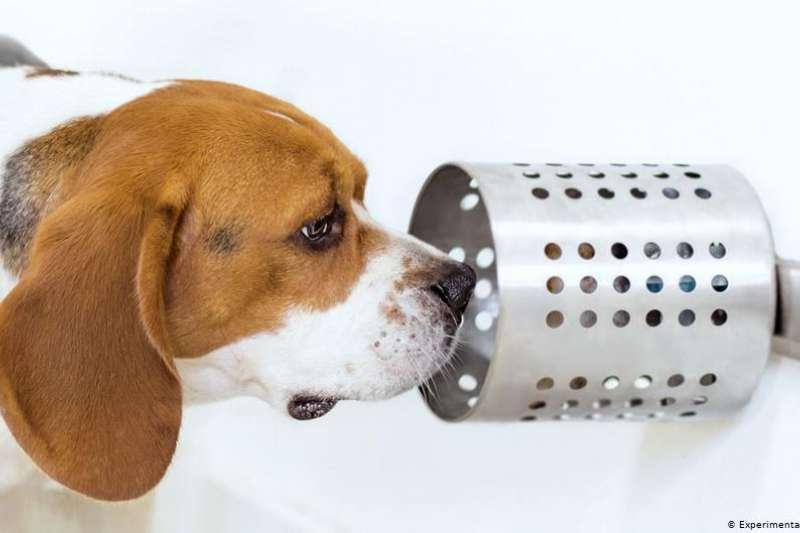 美國一項研究結果更指出,狗對癌症的辨識準確率高達97%。(德國之聲)