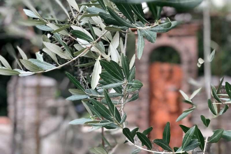 橄欖枝葉的魅力:每一片葉子都是「唯一」 (曾廣儀攝)