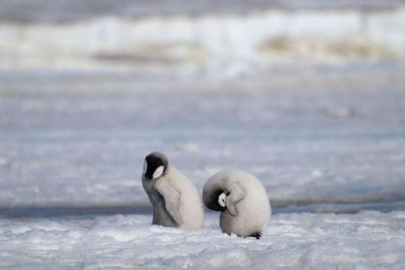 南極洲的哈雷海灣原是全球次大的皇帝企鵝棲息地,但英國研究團隊發現,自當地於2016年發生冰層崩塌後,3年來幾乎沒有新生命在此誕育。(資料照,AP)