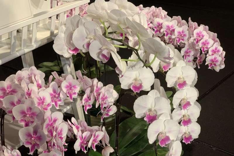 波蘭國慶:點綴酒會現場的蘭花獨特品種「鮮明波蘭」(簡恒宇攝)