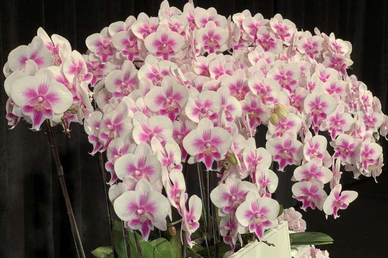 波蘭國慶:點綴酒會現場的蘭花獨特品種「鮮明華沙」(簡恒宇攝)