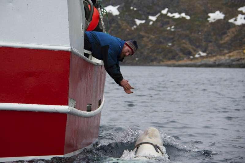 挪威北部漁民在巴倫支海發現一隻戴著奇怪挽具的白鯨騷擾他們的漁船,挪威海洋專家認為這隻鯨可能是受到俄羅斯訓練的武器(美聯社)