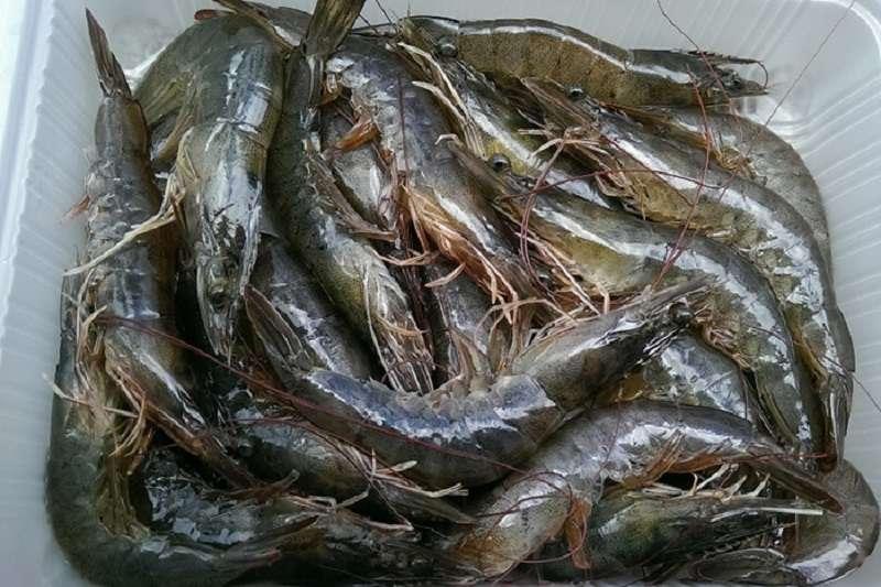 養殖白蝦。(網路超市)