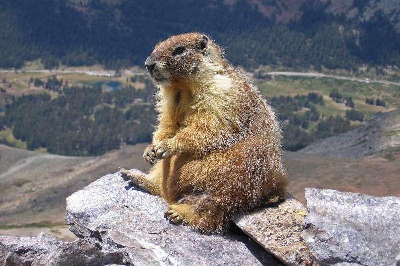 蒙古偏遠城市烏爾蓋的一對夫婦生食土撥鼠腎臟後,1日不幸感染鼠疫喪命,引爆當代「黑死病」疫情危機。圖為美國加州一隻土撥鼠。( jjron @Wikipedia / CC BY-SA 3.0)