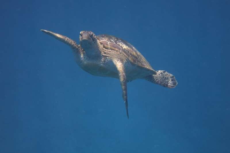 20190514 upload-羿雯專題-小海龜。(海洋大學海洋生物研究所程一駿研究室提供)*僅限本專題報導,不可重複使用或作其他用途