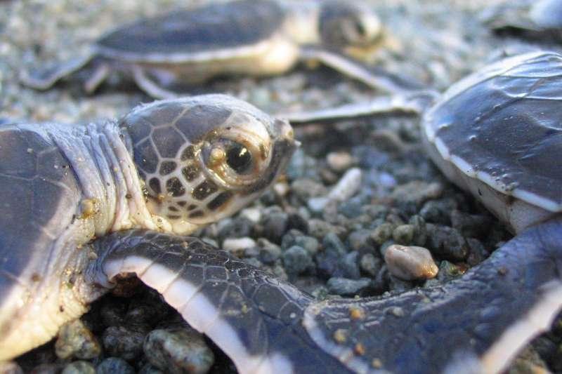 除了少數在台灣出生的母海龜,長大會回到台灣的沙灘產卵,大部分海龜都會循洋流進行季節性遷移,有些甚至遠渡千里,每一隻都經歷獨特的旅程。(海洋大學海洋生物研究所程一駿研究室提供)