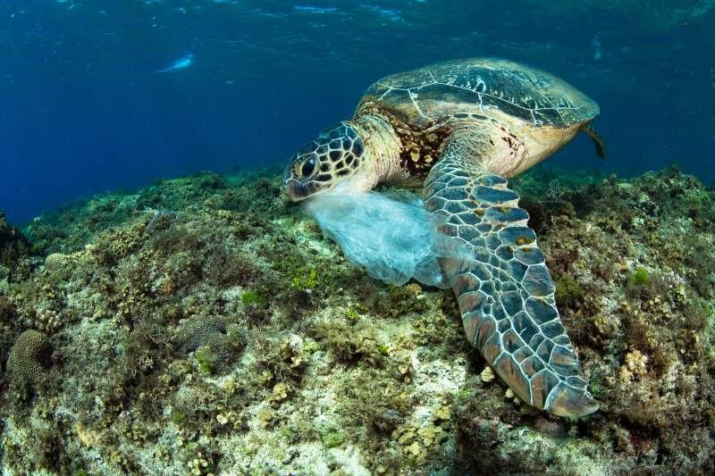 研究人員指出,高達8、9成的海龜死後解剖,都被發現胃腸內含有大量垃圾,人為製造的廢棄物流入海中,美麗的海底生態首當其衝。圖為海龜「吃貨二哥」吃到塑膠袋。(島人海洋文化工作室蘇淮提供)