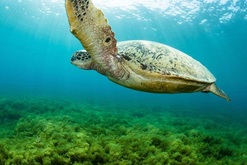 20190514 upload-羿雯專題-來自雅浦的海龜「R36192」。(島人海洋文化工作室蘇淮提供)*僅限本專題報導,不可重複使用或作其他用途