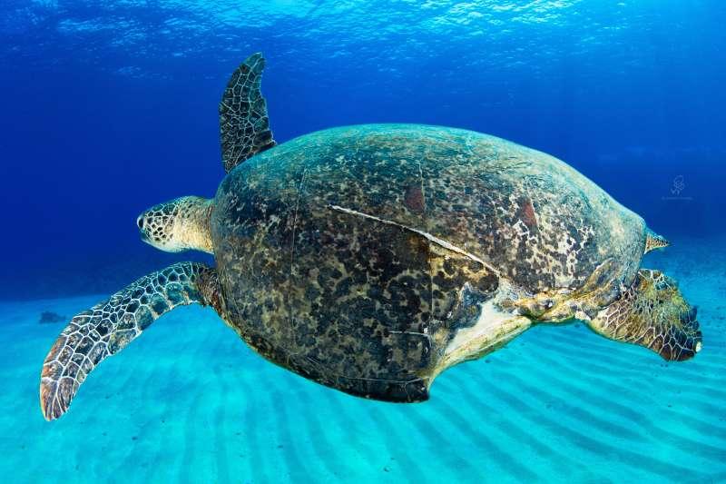 成立於2017年的「海龜點點名」公民社團,曾記錄一隻被命名為「小破洞」的海龜,背甲的左後部分有明顯的缺角,經專家研判很可能是被船隻螺旋槳打到的傷痕。圖為海龜「小破洞」。(島人海洋文化工作室蘇淮提供)