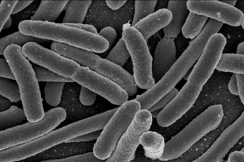 大腸桿菌(維基百科.公有領域)