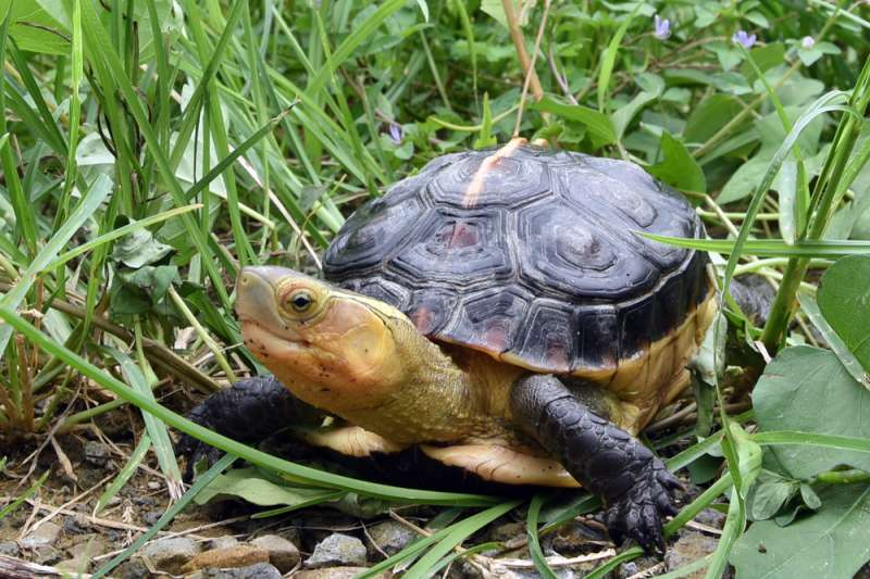 日月光與在地團體合作,為復育食蛇龜而努力。(圖/日月光提供)