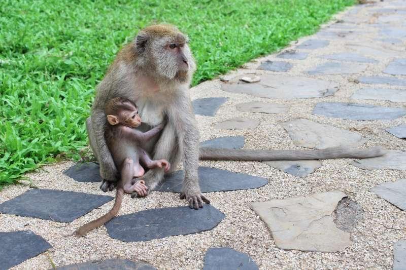 鄰近高雄柴山台灣獼猴保護區的國立中山大學,時常有獼猴誤闖校園的情形。(資料照,取自國立中山大學臉書粉絲專頁)