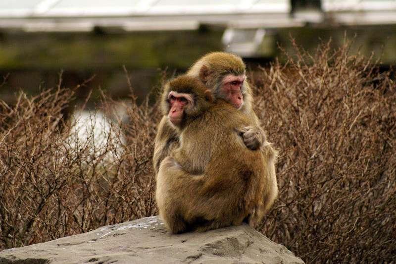 獼猴身上常帶有皰疹B病毒。(資料照,取自國立中山大學臉書粉絲專頁)