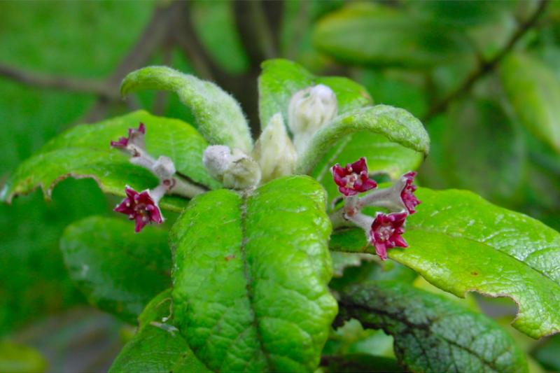 已滅絕的南大西洋聖赫勒拿島特有種聖赫倫那橄欖(St Helena Olive)。(截自Kew Gardens網站)