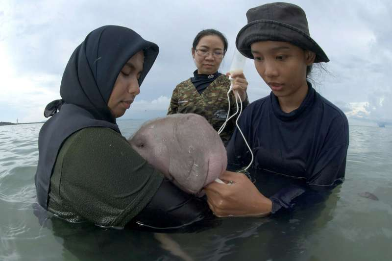 目前保育人員會定時餵食小儒艮牛奶與海藻,但未來一年會逐步訓練牠獨立生存。