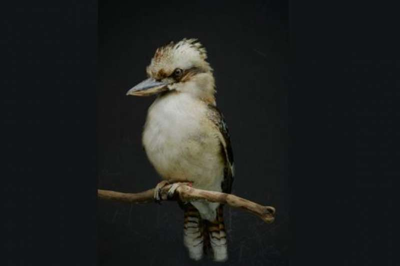 這隻笑翠鳥自然死亡前生活在動物園中(BBC中文網)