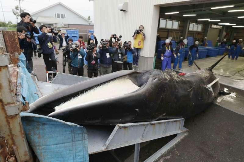 暌違31年日本重啟商業捕鯨,1日傍晚捕鯨船帶回2隻小鬚鯨。(AP)