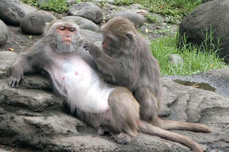 猴子的學習能力很強,只要吃虧一次就學乖。(圖/取自維基百科)