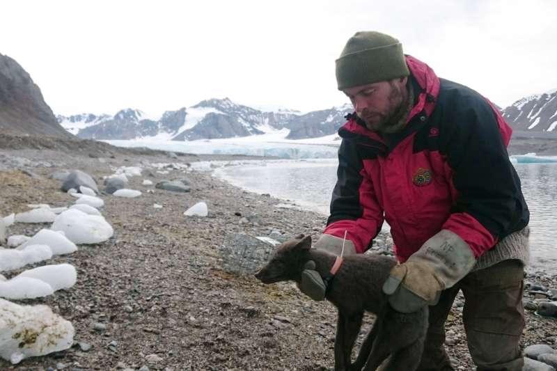 2017年7月底,挪威極地研究所研究人員在挪威斯瓦爾巴群島捕獲一隻雌北極狐,後來牠跋涉逾3500公里,到達加拿大(美聯社)