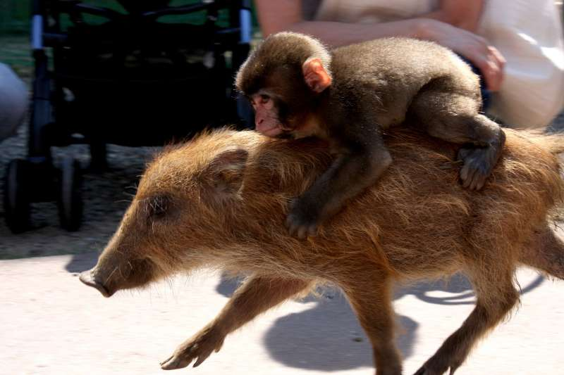 京都福知山動物園的明星猴「彌和」(みわ)與牠的野豬朋友。(Hiro zip post@Wikipedia/CC BY-SA 3.0)