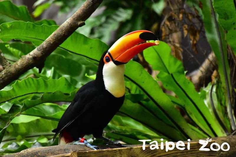 走進「熱帶雨林室內館(穿山甲館)」,定能為大家帶來嶄新的體驗,圖為巨嘴鳥(圖取自台北市政府)