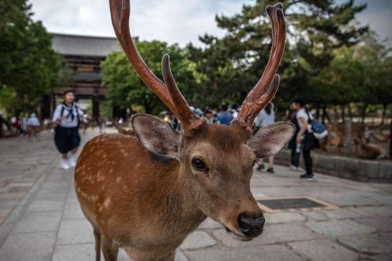梅花鹿被列為日本國寶。(BBC)