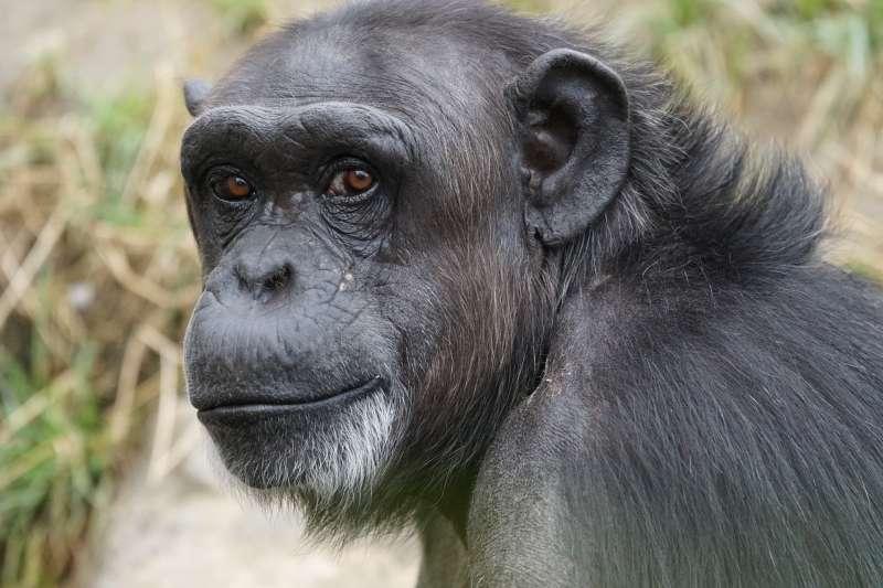 世界頂尖的科學家24日投書國際權威科學期刊《自然》,指出大猩猩、黑猩猩、紅毛猩猩在內的人類近親巨猿都可能感染武漢肺炎,呼籲各國當局考慮關閉動物園、保護區、國家公園。(圖/Pixabay)