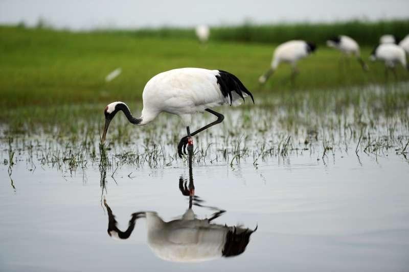 在黑龍江紮龍國家級自然保護區內,一隻丹頂鶴在水中覓食。(新華社)