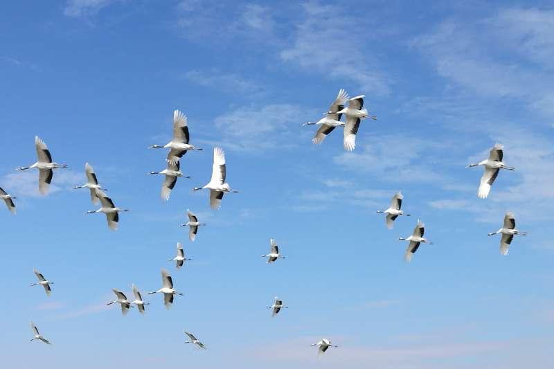 丹頂鶴在空中飛翔。(新華社)