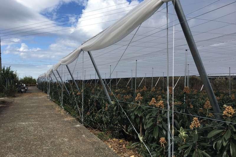 台中市推廣設施農業,枇杷也採用網室栽培,減少病蟲危害及天候因素,讓生產品質及產量更穩定。(圖/臺中市政府農業局提供)
