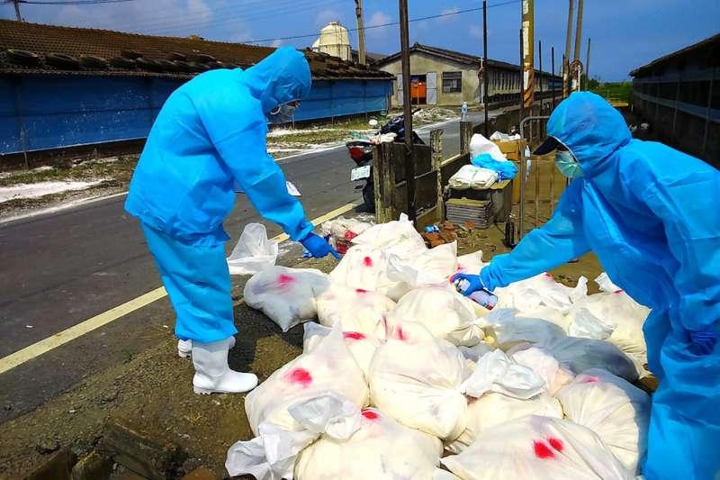 彰化縣政府動物防疫人員於25日完成全場撲殺清場及消毒工作,計撲殺7,756隻土雞。(圖/彰化縣政府提供)