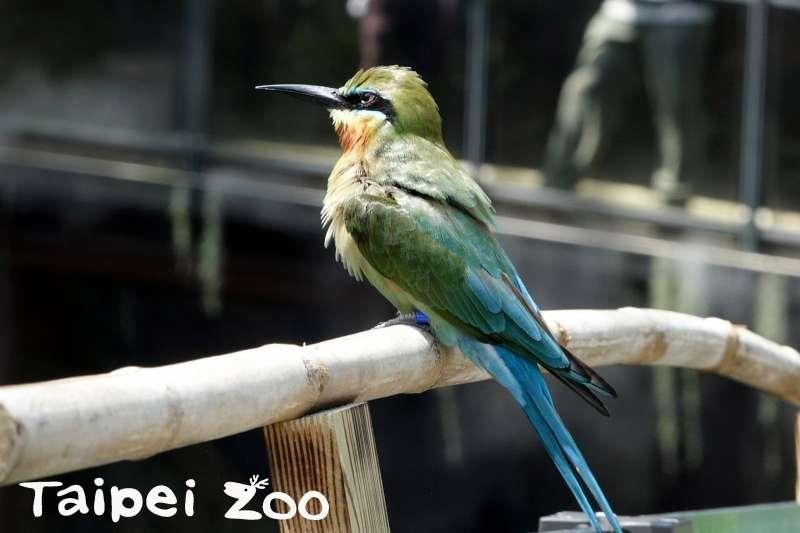 台北市立動物園的熱帶雨林館開放參觀即將滿月,但傳出不少質疑的聲音。面對動物是否適應不良的問題,台北市立動物園發言人曹紹先以館內「栗喉蜂虎」(見圖)為例,表示曾見過他們在天冷的時候自己到象魚池「洗溫泉」,「動物會自己找到解決的方案」。(取自台北市立動物園網站)