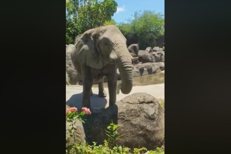 台北市立動物園內的雌性非洲象「千惠」,日前將遊客不慎掉落至園內的帽子撿起拋回,引發網友熱議。(取自Kelly Tseng臉書)
