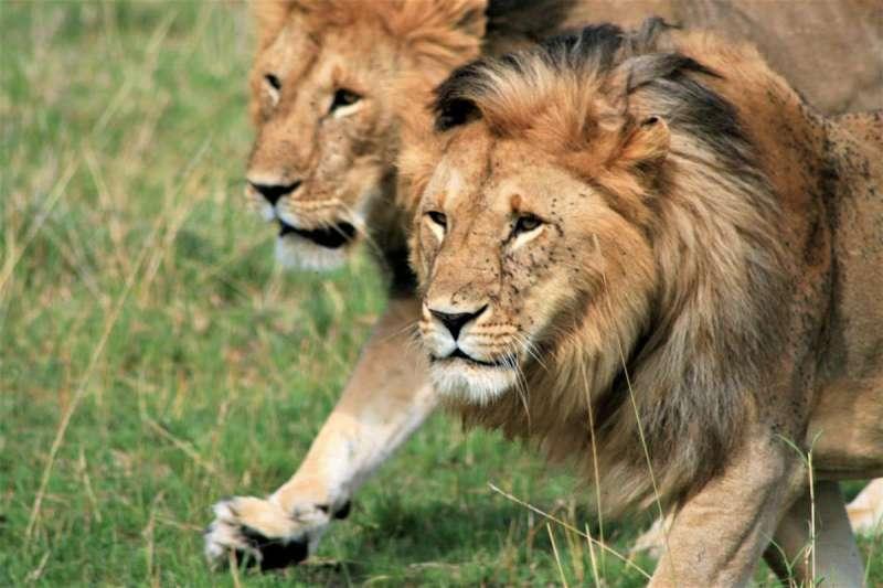 南非野生動物園獅群接連翹家,民眾反映曾在住家旁看到落跑獅子,且已有牛隻慘遭掠食(圖/Unsplash)