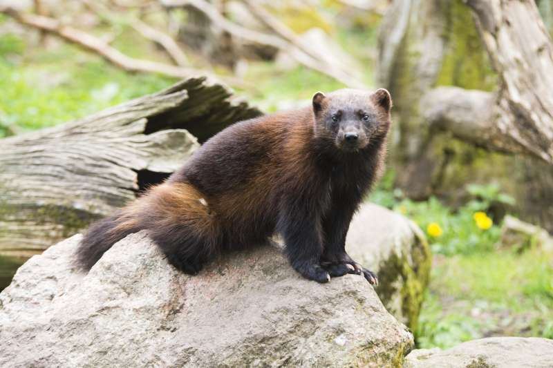 瀕危物種北美狼獾(North American Wolverine)。(Jonathan Othén@wikipedia_CC BY-SA 4.0)