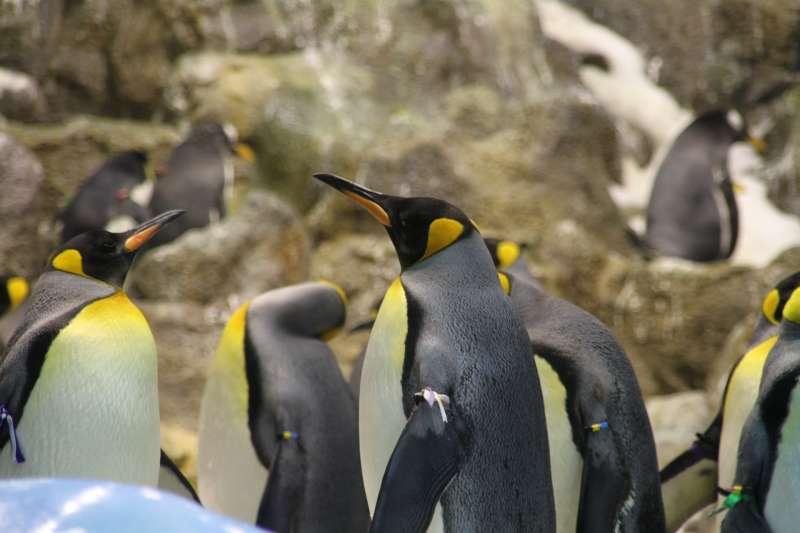 國王企鵝。(圖/Pixabay)