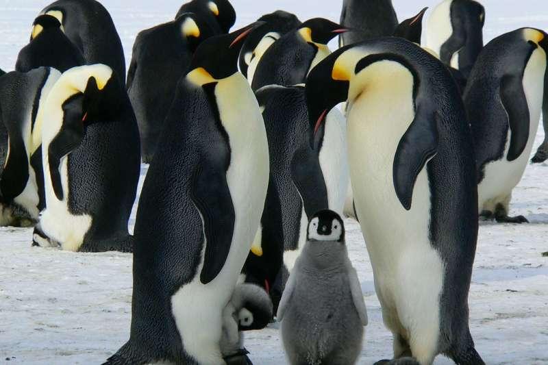 皇帝企鵝是現存身高最高的企鵝。(圖/Pixabay)