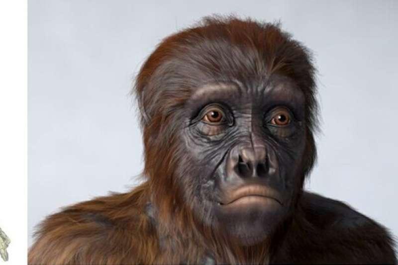 圖邁復原頭骨的形態特徵與黑猩猩有一些共同的特徵,但總體特徵,特別是牙齒形態與南方古猿接近,尤其是在顱底部分。(新華社)
