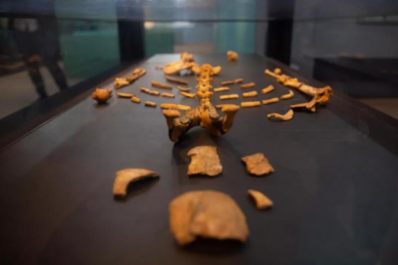 在衣索比亞博物館拍攝的露西化石複製品。(新華社)
