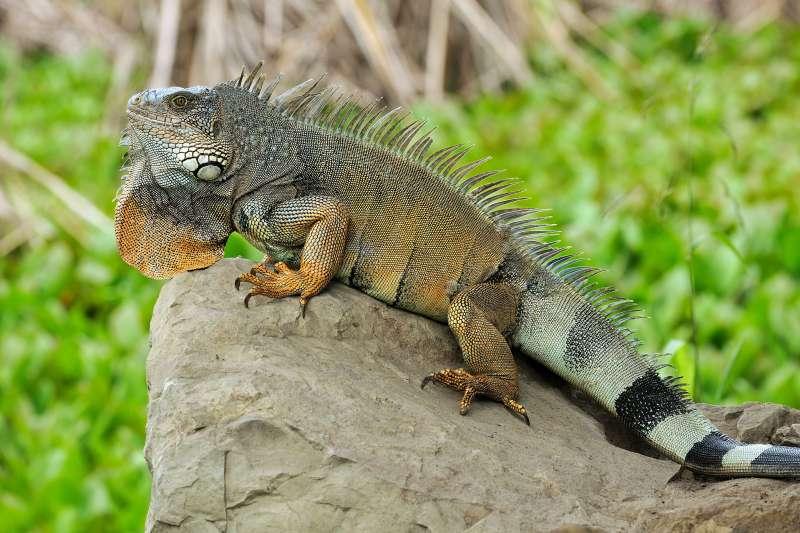 未來飼主棄養美洲綠鬣蜥,可依動保法開罰3萬元以上、15萬元以下罰鍰。(圖/維基百科提供)